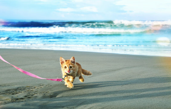 Red kitten agora cat playing on the beach.