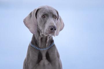 Dog breed Weimaraner, portrait in winter, close-up