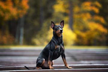 german pinscher dog posing outdoors in autumn
