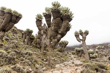 Giant Groundsels on Mt Kilimanjaro