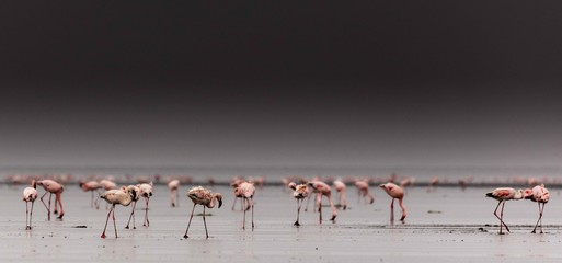Foto op Canvas Flamingo lesser flamingos in the morning