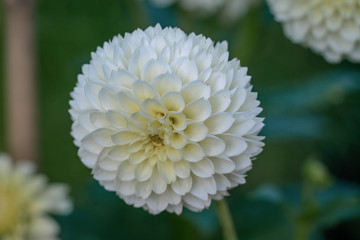 Detailed close up of a beautiful white ball Citrin dahlia flower
