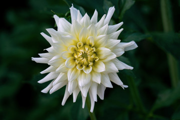 Detailed close up of a beautiful white cactus dahlia Eisprinzessin flower