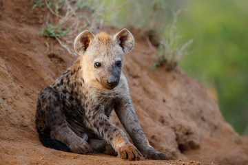 Hyena pup at the den with sunrise in Sabi Sands Game Reserve in South Africa