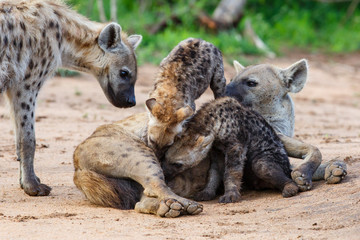 Hyena mothers with pup at the den with sunrise in Sabi Sands Game Reserve in South Africa