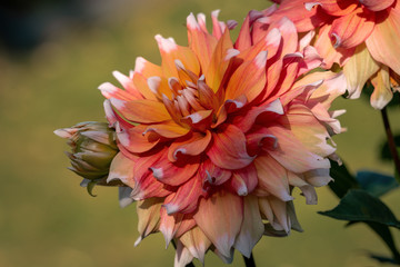 Detailed close up of a beautiful orange and red Seattle dahlia flower
