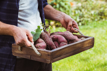 Fresh organic sweet potatoes in hands.