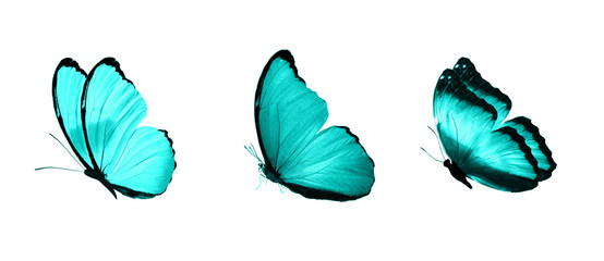 blue flying tropical butterflies. insects for design. colored moths. isolated on white
