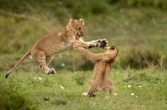 Lion cubs playing in Savannah, Masai Mara, Kenya
