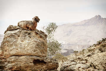 Arabian tahr at Jebel Shams in Oman