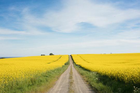 Rural road through rapeseed fields