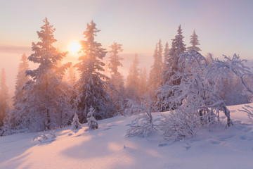 Snow covered trees at sunset