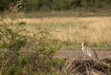 Cheetah looking all over surrounding for prey, Masai Mara, Kenya Wall mural