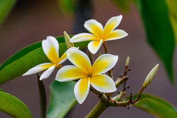 Plumeria rubra flowers blooming, with green leaves