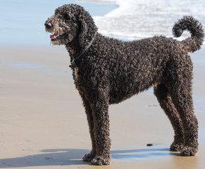 Happy Black Standard Poodle At The Dog Beach