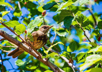 Bird on branch of a mulberry tree with leaves and blue sky defocused in the background.
