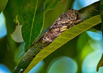 insect cicada on leaf of a mango tree