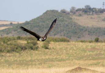 The lappet-faced vulture flying at Masai Mara grassland, Kenya Wall mural