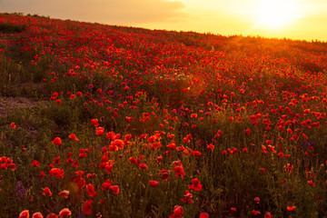 Poppy field at sunset, warm light