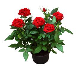 Fotorollo Roses Red rose flowers in a pot