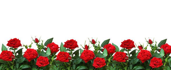 Red rose flowers in a border