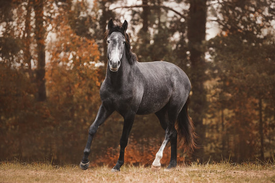 portrait of trakehner mare horse trotting on green meadow on forest background in autumn