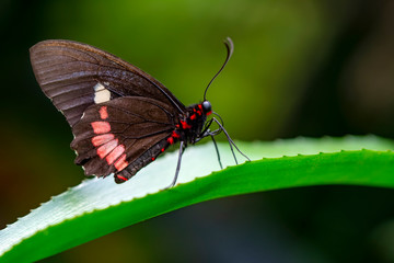 Foto auf Leinwand Schmetterling Closeup Common Mormon, Papilio polytes, beautiful butterfly in a summer garden