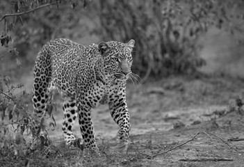 Foto op Aluminium Luipaard The leopard walking in its habitat, Masai Mara, Kenya