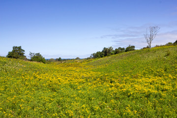 A Beautiful Meadow Filled With Yellow Flowers On Block Island, Rhode Island, United States Of America