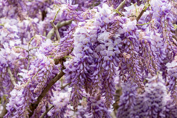 Beautiful Purple Wisteria Flowers In Full Bloom