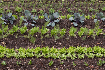 Rows Of Vegetable Food Plants Growing In A Manicured Garden