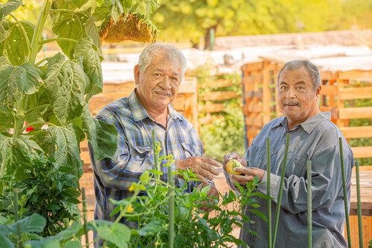 Smiling Hispanic Men with Tomato in a Community Garden
