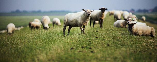 Foto op Plexiglas Schapen Schafe auf dem Deich