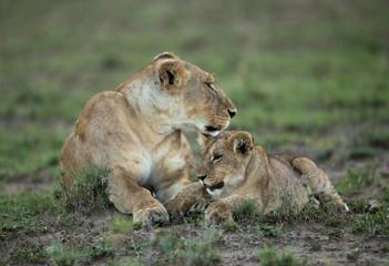 Lioness caress with cub at Masai Mara, Kenya Wall mural