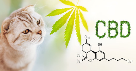 Close up portrait of purebred cat sniffing a cannabis leaf on blurred background with CBD formula. Word CBD cannabis made from green hemp leaves.  Cannabidiol with pet