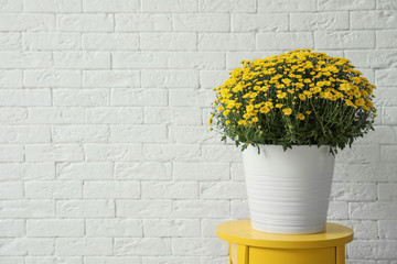 Pot with beautiful chrysanthemum flowers on table against white brick wall. Space for text