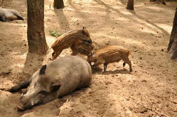 Wwild boars