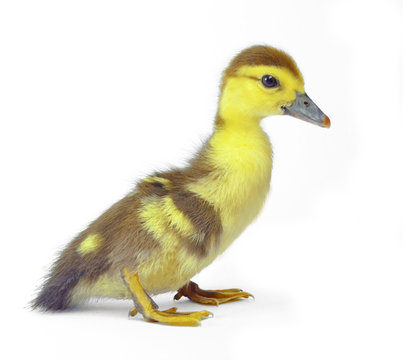 yellow duckling isolated on white