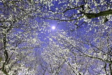 Foto op Canvas Kersenbloesem flowers in spring