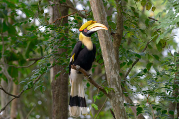 Deurstickers Toekan Great hornbill on tree branch in the forest