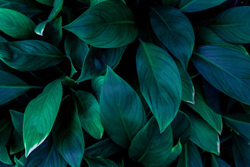 Wall Mural - abstract green leaves pattern texture, nature background, tropical leaves
