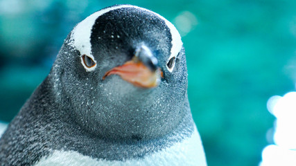Foto op Canvas Pinguin Gentoo penguin close up 6