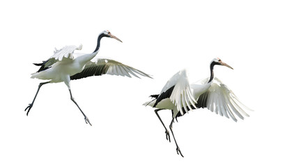 Red-Crowned crane isolated on white Wall mural