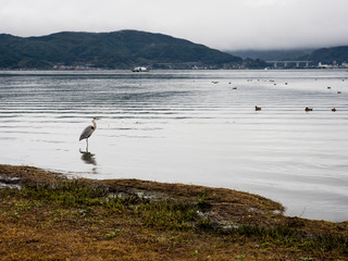 Japanese Blue Heron on the shore of Lake Suwako - Nagano prefecture, Japan