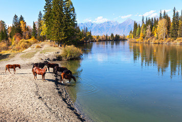 Rural landscape with horses at a watering hole at the Irkut River at an autumn day. Eastern Sayan...