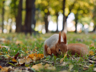 forest squirrel takes food from his hand in a city park. Gomel, Belarus
