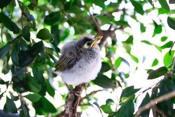 A portrait of a cute baby Noisy Miner Bird on a branch, Brisbane, Australia.