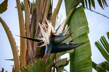 Foto auf Leinwand Blumen White and blue Strelizia bird of paradise flower in a garden.