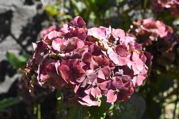 Las flores rosas de hortensia empiezan a marchitarse en el jardín, al final del verano.