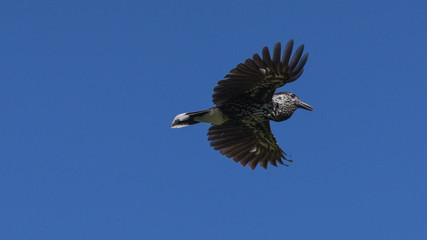 Nocciolaia in volo con il cielo blu in sottofondo